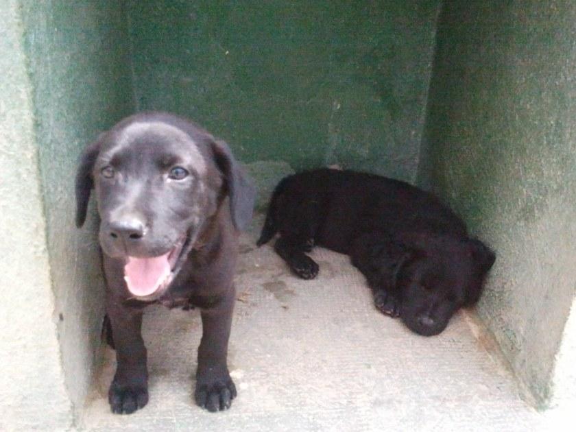 Dos perros cachorros de labrador