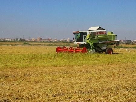 Segadora en campo de arroz